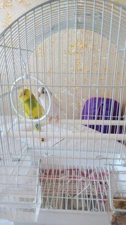 Продаётся пары попугаев
