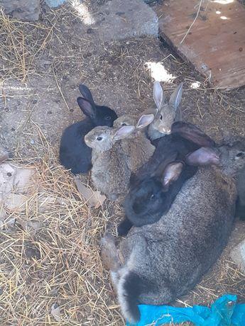 Кролики Пароды Великан