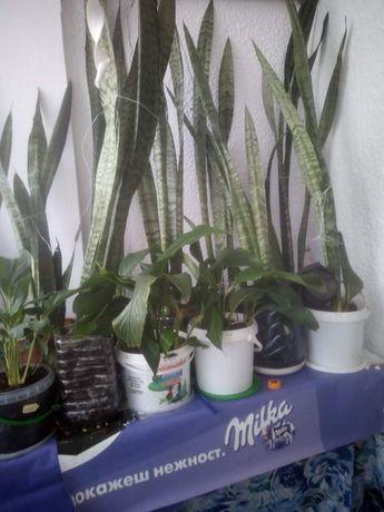 Растение Сансевиера