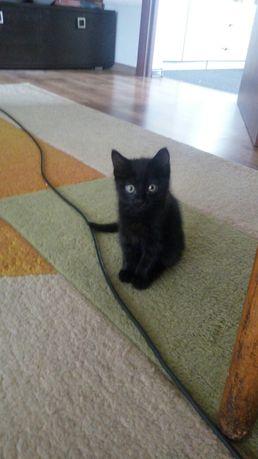 Котенок, крысоловка, черная смесь британско-голубая, девочка