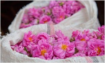 Ulei din seminte de Rosa din Chile - presat la rece 1 litru