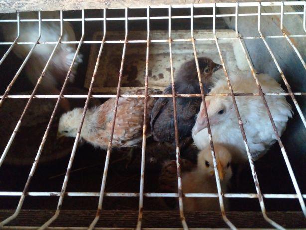 Срочно Продаю цыплят