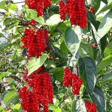 Seminte arbuști decorativi si fructiferi goji,aronia ,afin,mur,glicina