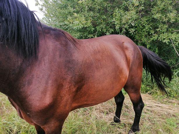 Продам коня обучен в седло