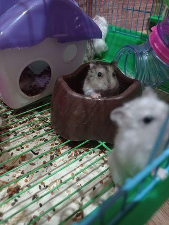 Джунгарские хомячки