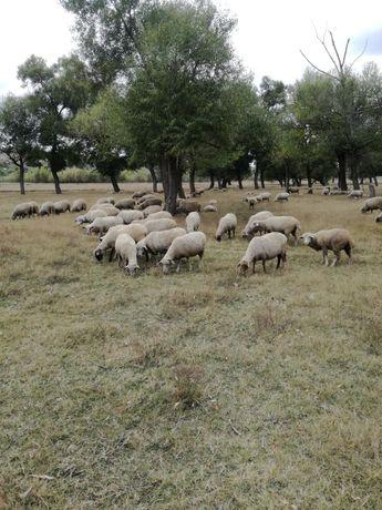 Vand 200 de oii merinos.