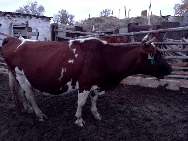 Срочно продам корову с телёнкам