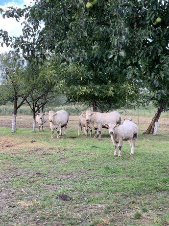 Vând un lot de vaci  charolese-saroleze