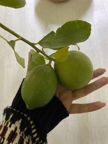 Продам Лимонное дерево
