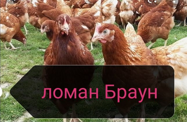 Цыплята несушки ломан Браун 8 дней