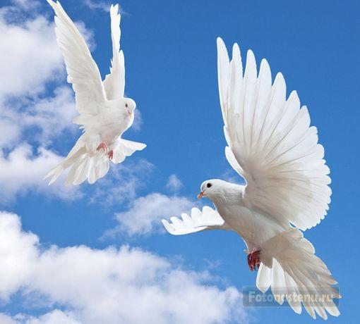 Белые голуби для торжественных мероприятий.