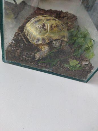 Продам черепаху 3000