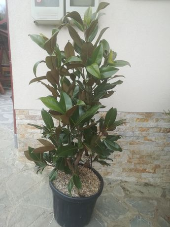 Plante ornamentale :tuia, brad, mesteacăn, magnolie