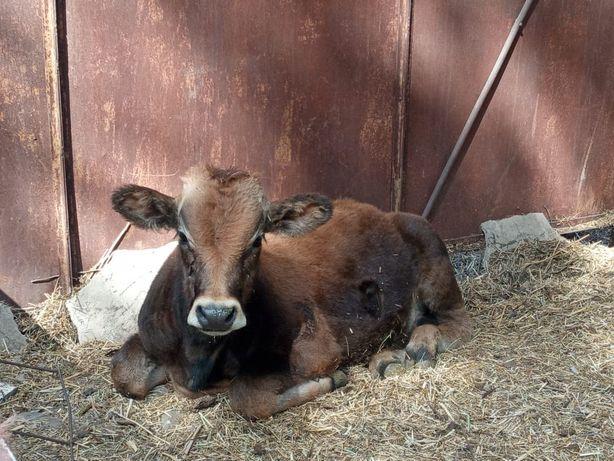 Продам корову с телёнком