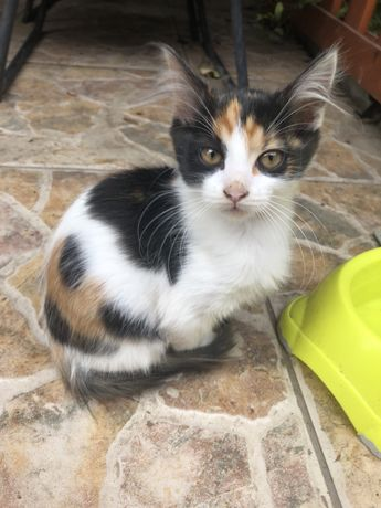 Adoptie pui de pisica norvegiana de padure