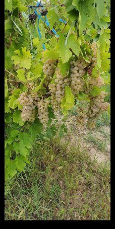 Struguri de vin producție 2021