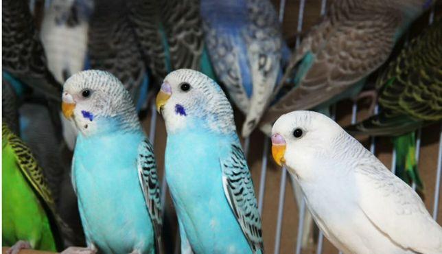 Волнистый попугай разные расцветки