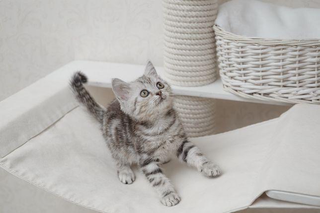 Два британских котенка  Серебристо Мраморного окраса