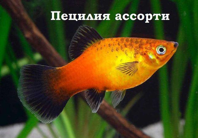"""Пецилии одни из самых популярных и красивых рыбок """"ЖИВОЙ МИР"""""""