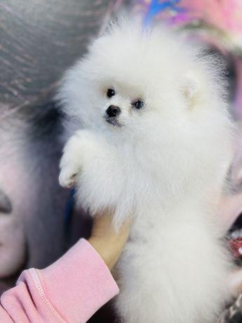 Pomeranian fci pedigree