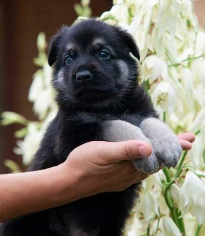 Крепкие Здоровые Костистые щенки от Восточно-Европейских Овчарок