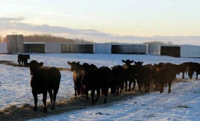 Продажа быков бычков бука сатылады бузаулар бызау бука