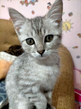 СРОЧНО!Отдам котёнка (мальчик), порода Скоттиш страйт,в добрые руки.