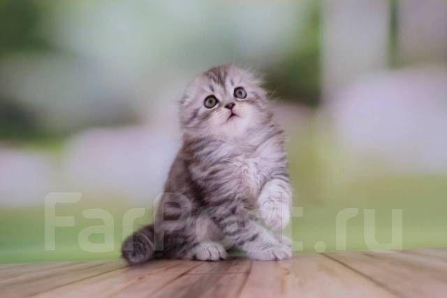 Котенок шотладский вислоухий