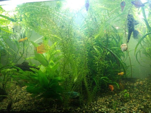 Эллодея обмен по аквариуму