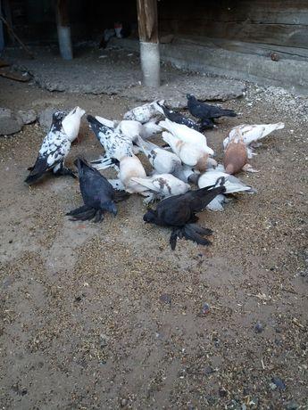 Продам лётных голубей