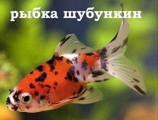 """Золотая рыбка Шубункин в зоомагазине """"ЖИВОЙ МИР"""""""