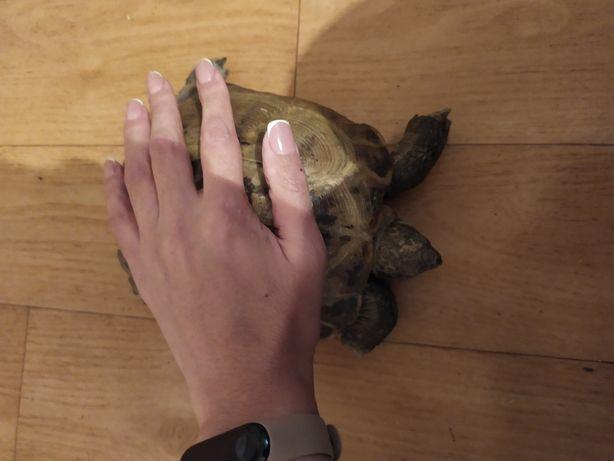 Черепаха  продам