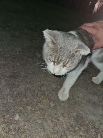 Кошка породистая