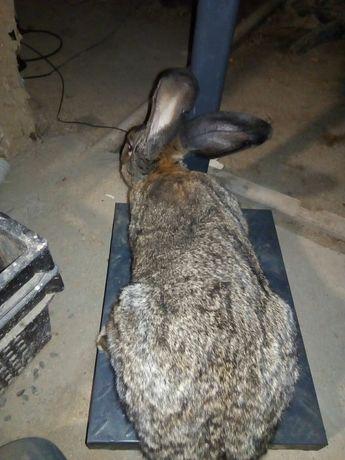 Продам кроликов(фландер) бельгиский Великан