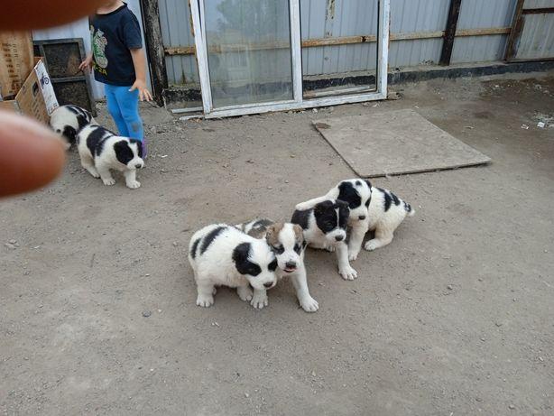 Продаю щенят Алабая