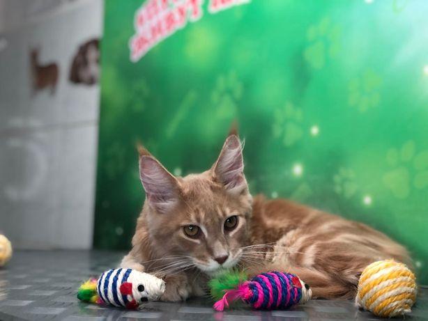 Продаётся котёнок породы мейн-кун