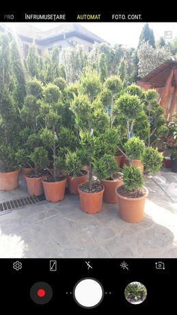 Vând diverse plante ornamentale se ofèră livrare la domiciliu