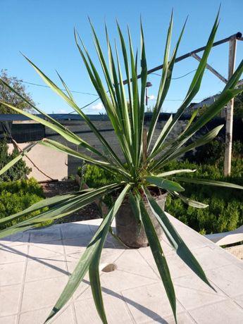 Vand Yucca de gradina