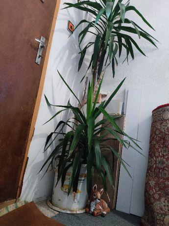 Стайно растение - Палма Юка