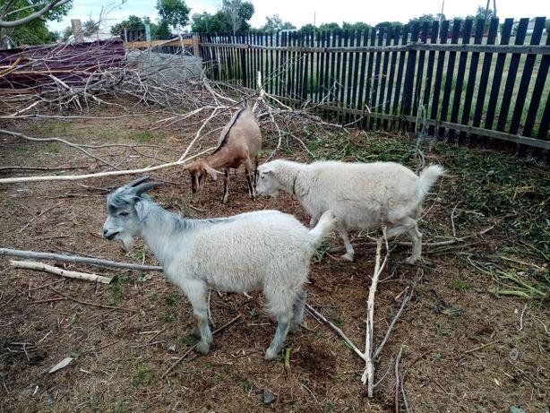 Продаются козы..