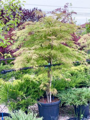 Arbori artari japonezi