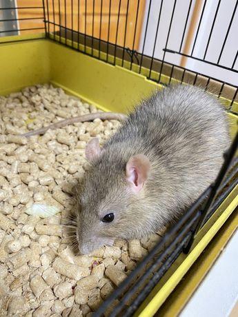 Крысушки бесплатно