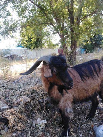 Продам коз  и козла