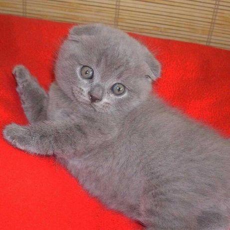 Вислоухие шотландские котята