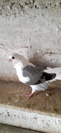 Продам Китайскую чайку (молодая)
