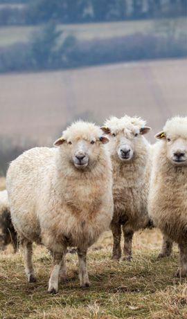 Продам превосходных овец!!!