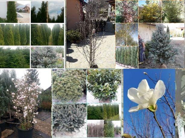 Plante și conifere