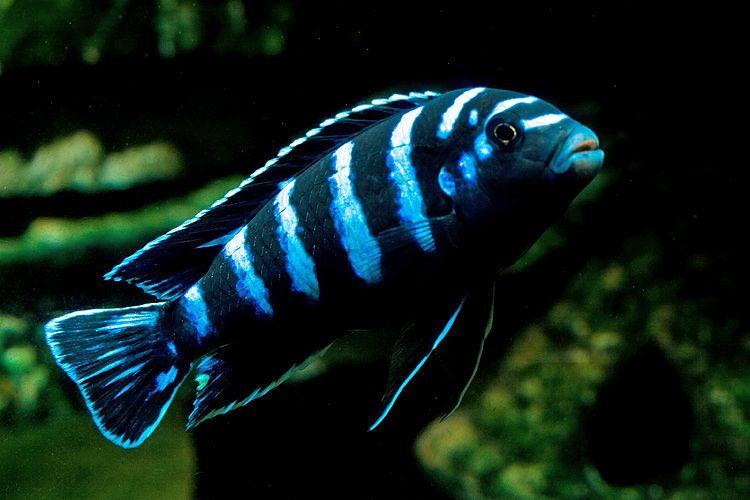 Рибки Африкански цихлиди гр. Търговище - image 1
