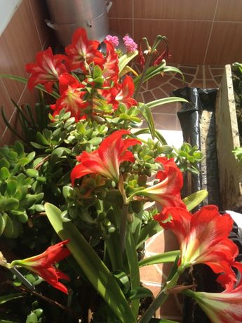 Цветы комнатные в горшках, толстянка, амарилис