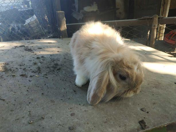 Продам декоративных карликовых кроликов пароды вислоухие бараны